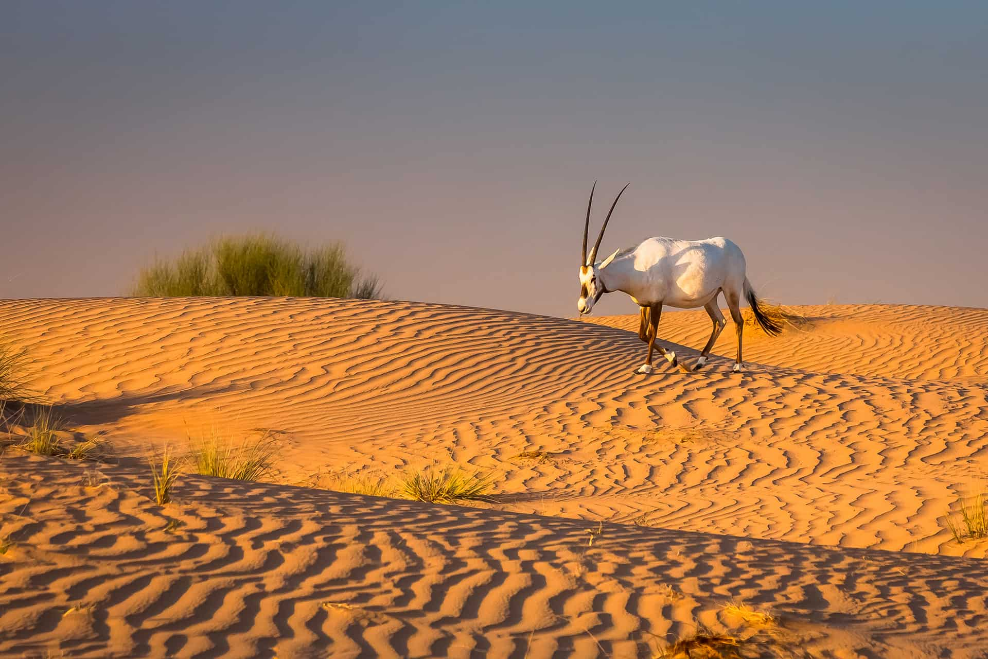 onyx faune desert
